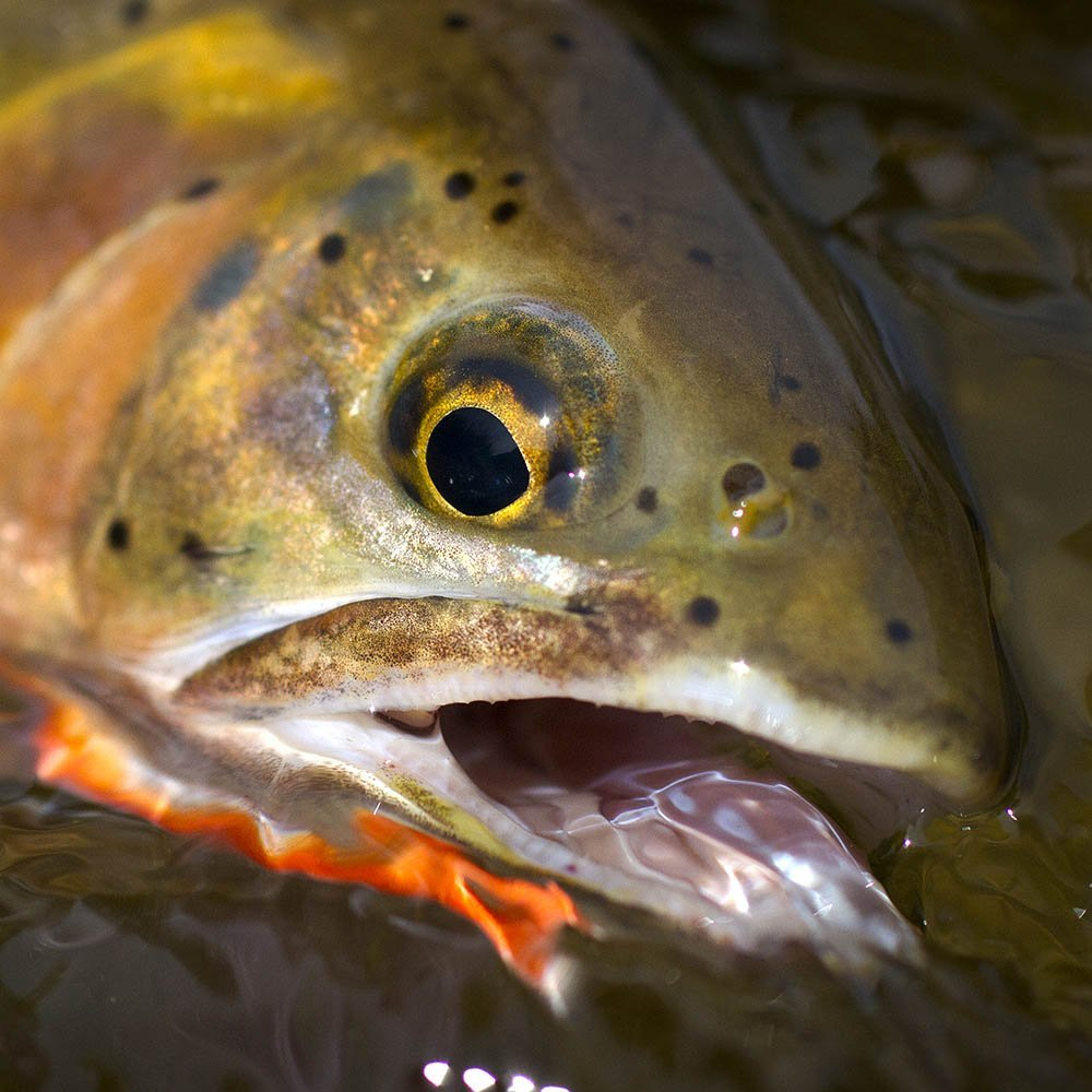 Small Stream Cutthroat Trout