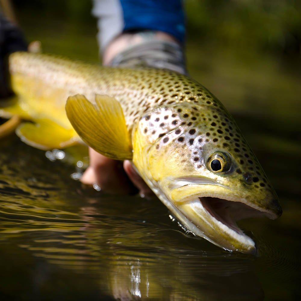 Utah Huge Brown Trout Fly Fishing