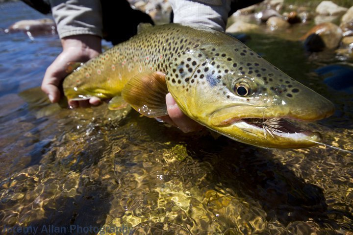 A big brown trout that was caught during a Green Drake hatch